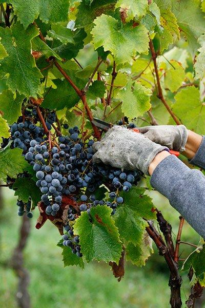 Sangiovese, Canaiolo e uva fragola 2