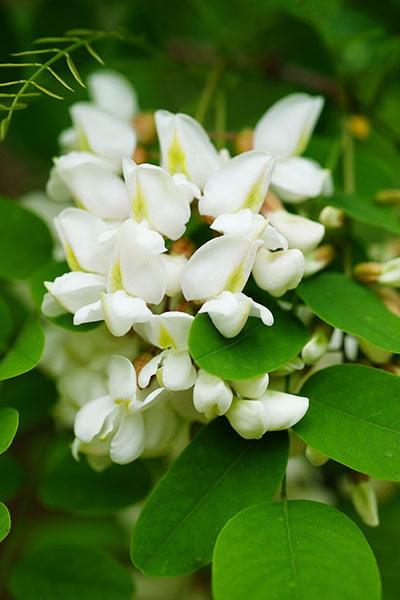 acacia_fiore