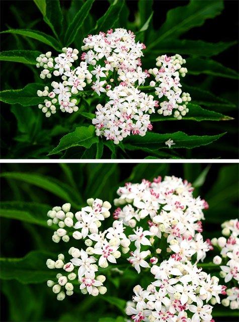Particolari del fiore di Ebbio