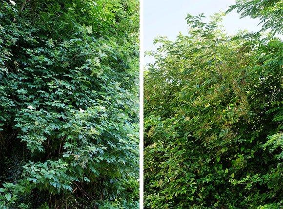 Arbusti di Sambuco
