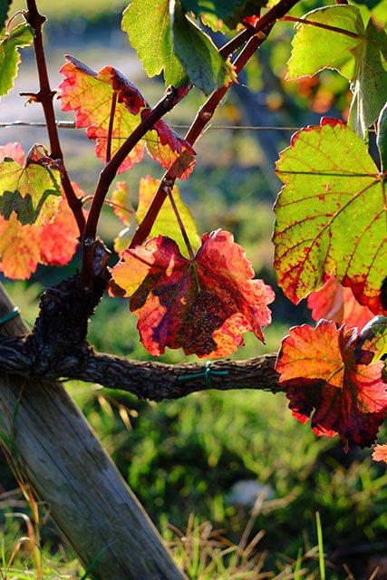 vigne_10