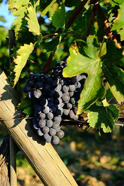 vigne_4