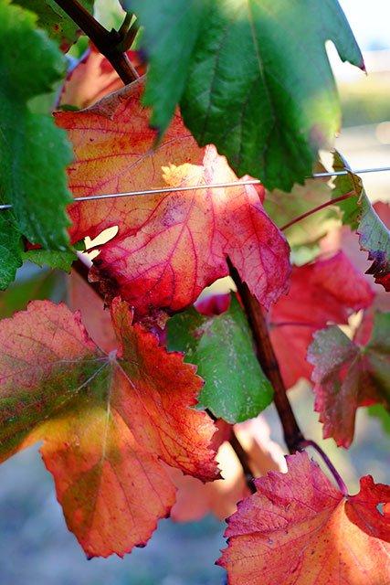 vigne_8