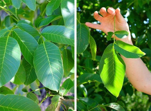 noci_foglie_small