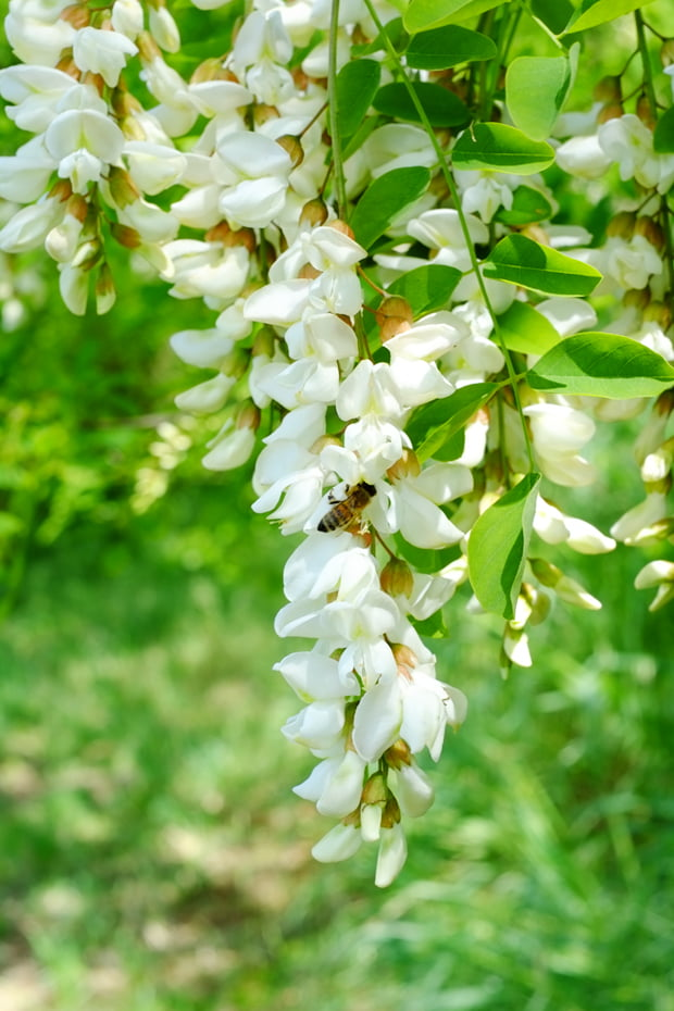 acacia_1_small