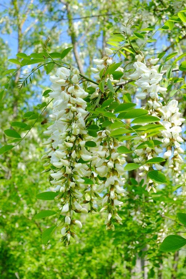 acacia_small