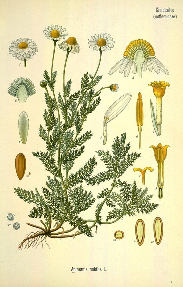 botanica_camomilla_small