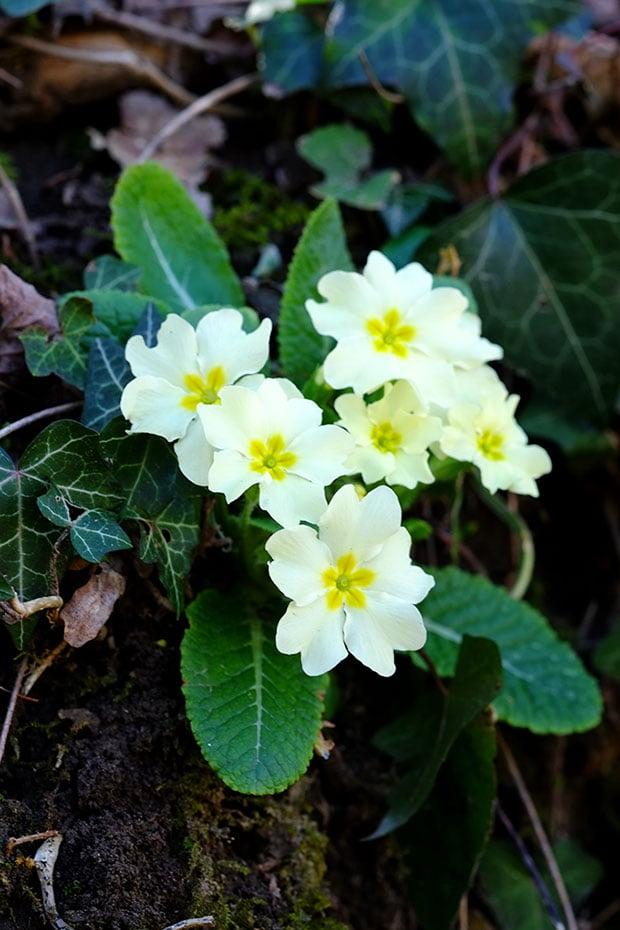 Insalata di cavoli con fiori e foglie di primula e alliaria 3