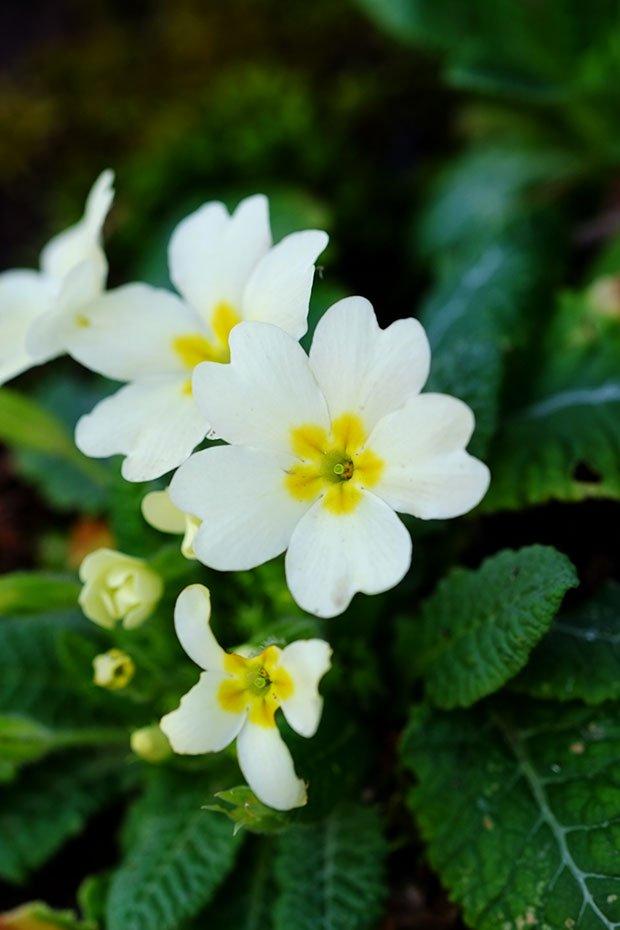 Insalata di cavoli con fiori e foglie di primula e alliaria 2
