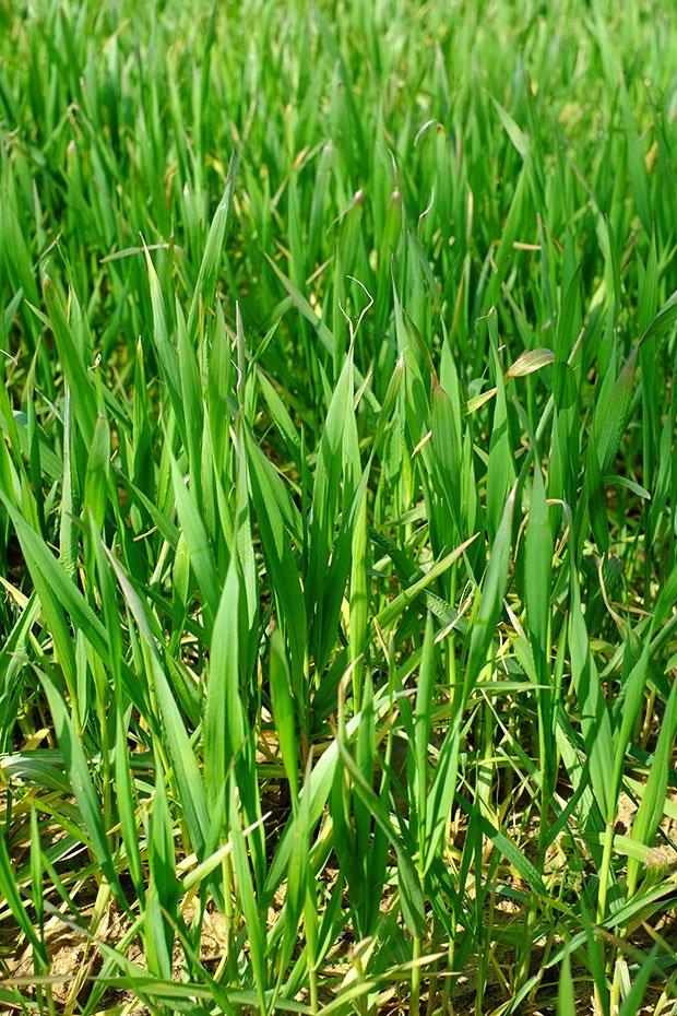 Le nuove filiere locali del grano: Il pane di grani antichi del Podere Pereto 2
