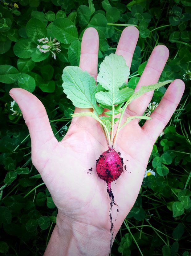 Insalatini di ravanelli con foglie di mirto e timo 2