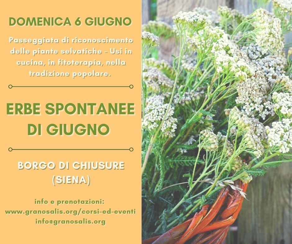 Erbe spontanee di Giugno - Chiusure (SI) 7